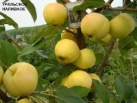 Яблоня Уральское наливное, полукультурка (окс)