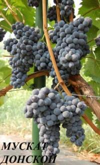 Виноград Мускат Донской (окс)