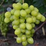 Виноград Синдикат