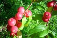 Яблоня Пепин Амурский