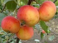 Яблоня Амурское красное