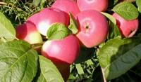Яблоня Заветное, полукультурка (окс)