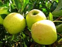 Яблоня Золотой ранет