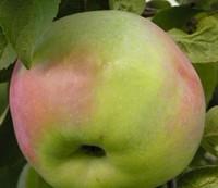 Яблоня Надёжное