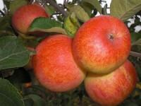 Яблоня Сувенир Алтая (окс)