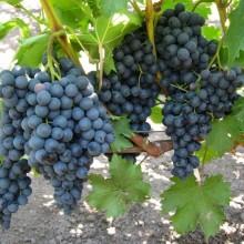Виноград Киш Миш чёрный
