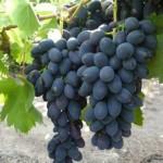 Виноград Мерседес (бессемянный)