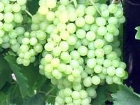Виноград Кишмиш (зкс)