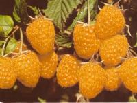 малина Жёлтый гигант (окс)