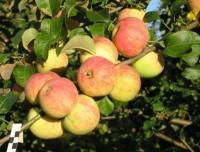 Яблоня Толунай (окс)