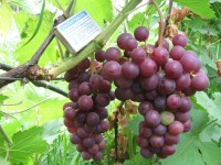 Виноград Американский сладкий