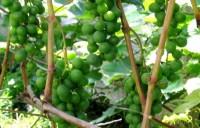 Виноград Шасла рамминга